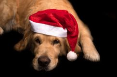 Golden Retriever dog isolated on black Stock Photography