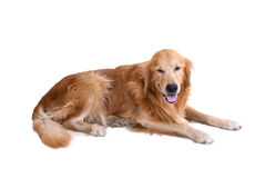 Golden retriever dog isolated Royalty Free Stock Photos