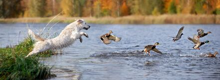 Free Golden Retriever Dog Jumping Into Water After Ducks Royalty Free Stock Images - 191769629
