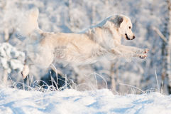 Golden retriever dog jumping in the snow Royalty Free Stock Image