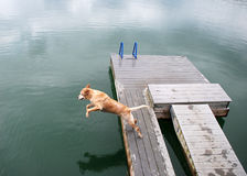 Golden Retriever Dog Jumps off Dock. A large old golden retriever dog jumps off the dog and into the waters below Royalty Free Stock Photos