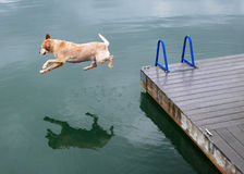 Golden Retriever Dog Jumps off Dock. A large old golden retriever dog jumps off the dog and into the waters below Royalty Free Stock Photo
