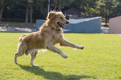 Golden retriever. Golden dog [a kind of dog] Open classification: animal pet biological nature Golden Retriever is a relatively modern and very popular dog breed stock photo