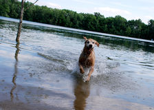 Golden Retriever Dog at the Lake. An action shot in mid air of a golden retriever dog running towards the camera on the beach of a lake / quarry / pond stock photography