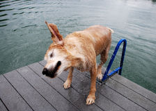 Golden Retriever Dog at the Lake Dock. A golden retriever dog shakes off water on the Dock platform of a lake / quarry / pond dripping in the sunshine Stock Images
