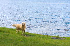 A golden retriever dog on a lake shore Stock Images