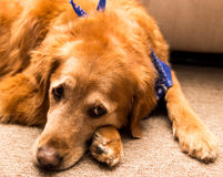 Golden retriever dog. Golden retriever dog laying on a carpet Royalty Free Stock Images