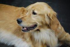Golden Retriever Dog Laying Down. Resting golden retriever dog on a carpet Stock Photography