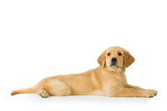 Golden retriever dog laying over white background Stock Image