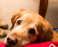 Golden retriever dog. Golden retriever dog laying on a red blanket Stock Photo