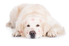 Golden retriever dog with lipstick marks on his head Royalty Free Stock Photo