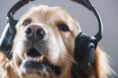 Golden Retriever Dog listening to headphones Stock Photo
