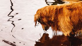 Golden Retriever dog looking down on the water searching for som. Golden Retriever dog on the water of a lake. Dog looking down on the water searching for some Stock Image