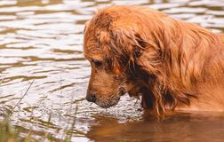 Golden Retriever dog looking down on the water searching for som. Golden Retriever dog on the water of a lake. Dog looking down on the water searching for some Stock Images