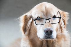 Golden Retriever Dog looking over a pair of reading glasses Royalty Free Stock Photo
