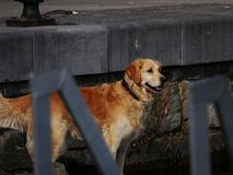 A golden retriever dog looks excited and happy. As he is about to jump into the water at the side of the dock stock image