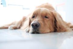 A golden retriever dog lying down on floor. stock photography
