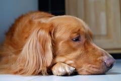 Golden retriever dog lying down on floor. Thinking of someone. Head shot of golden retriever dog lying down on floor and thinking of someone. Dog sleepy on royalty free stock images