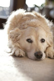 Golden Retriever dog lying down in home environment Royalty Free Stock Image