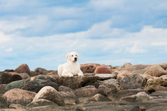 Golden retriever dog lying down on stones Stock Photography