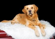 Golden Retriever Dog lying on fur blanket stock images