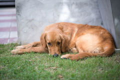 Golden retriever dog. Lying on the grass looking sad Royalty Free Stock Photography