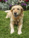 Golden retriever dog lying on green grass with flower background stock photo