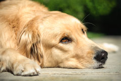 Golden Retriever Dog Lying On The Floor Royalty Free Stock Image