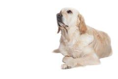 Golden Retriever Dog lying on the white background Stock Images