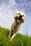 Golden retriever dog in a meadow royalty free stock photography
