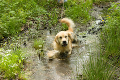 Golden retriever dog in muddy puddle Stock Photos