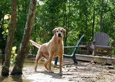 Golden Retriever Dog in Nature at the Lake. A golden retriever poses wet and at attention on the shore of a lake / quarry / pond dripping in the sunshine Royalty Free Stock Photography