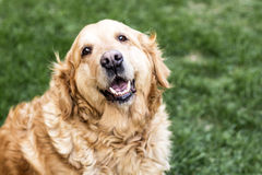 Golden retriever dog. Old golden retriever dog outdoor Stock Image