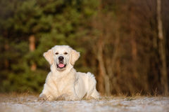 Golden retriever dog outdoors Stock Image