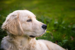 Golden Retriever dog outdoors Stock Photo