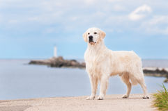 Golden retriever dog outdoors Royalty Free Stock Photo