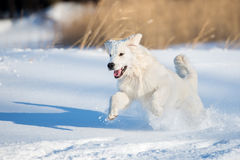 Golden retriever dog outdoors in winter Royalty Free Stock Image