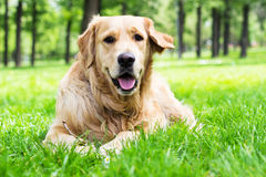 Golden Retriever dog at the park Stock Photography