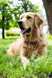 Golden Retriever dog at the park Royalty Free Stock Photos
