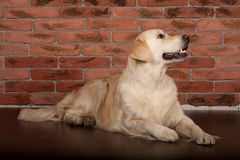 Golden retriever dog photographed at home. Beautiful golden retriever dog photographed at home royalty free stock photo