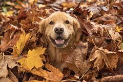 Golden Retriever Dog in a pile of Fall leaves Royalty Free Stock Images