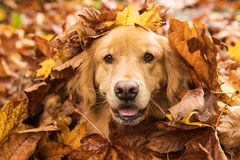 Golden Retriever Dog in a pile of Fall leaves Stock Image