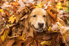 Golden Retriever Dog in a pile of leaves Stock Image