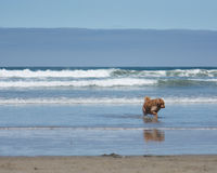 Golden Retriever Dog Playing at the Beach. A golden retriever dog running in the ocean at the beach royalty free stock images
