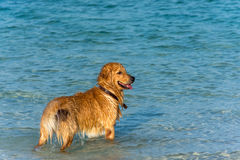 A Golden Retriever dog playing fetch in the sea. A Golden Retriever dog playing fetch in the sea just off of the shore line Royalty Free Stock Images
