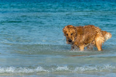 A Golden Retriever dog playing fetch in the sea. Stock Photography