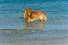 A Golden Retriever dog playing fetch in the sea. Royalty Free Stock Images