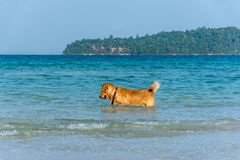 A Golden Retriever dog playing fetch in the sea. A Golden Retriever dog playing fetch in the sea just off of the shore line Royalty Free Stock Photo