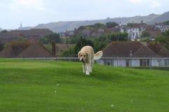 Golden Retriever dog playing Folkestone UK Stock Images