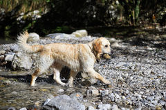 Golden retriever dog playing in lake stock photo